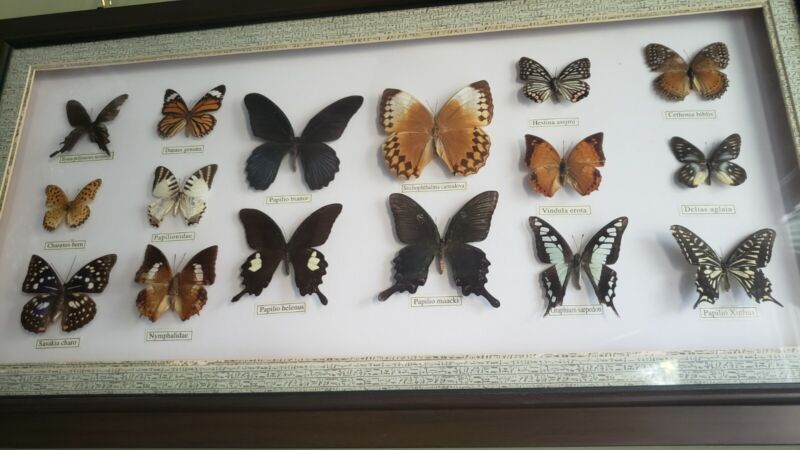 VTG Butterfly Taxidermy Framed Collection rare PURPLE EMPEROR 20 BUTTERFLIES