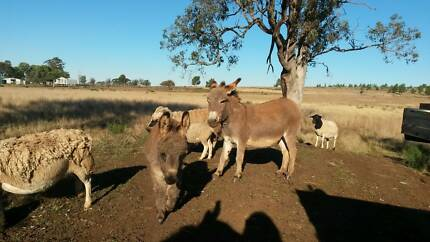 donkey mini Inverell Inverell Area Preview