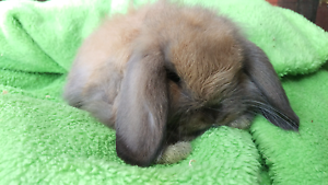 ❤QUALITY 8WEEKS OLD VACCINATION INCLUDED PUREBRED MINI LOPS Londonderry Penrith Area Preview