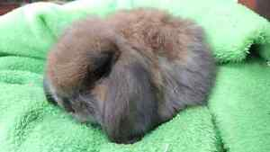 ❤CASHMER BABY GIRL MINI LOP 8 WEEKS OLD HUTCH PACKAGE DEALS Londonderry Penrith Area Preview