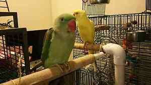 Handraised Alexandrine parrot Fortitude Valley Brisbane North East Preview