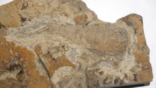 Silurian nice sea scorpion Eurypterus (Balteurypterus) from Ukraine fossil