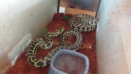 Jungle Carpet Pythons - Male and Female Breeding Pair (Proven) Springbrook Gold Coast South Preview