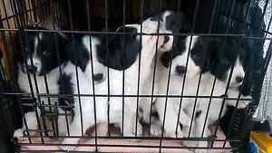 Border collie pups Hillwood George Town Area Preview