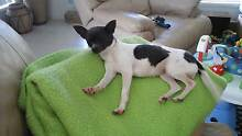 Pure breed female  chihuahua  (very very tiny) Adare Lockyer Valley Preview