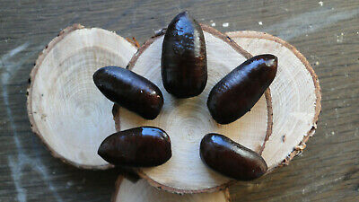 Indianerbanane Samen 50 Stück, Pawpaw, Asimina triloba, Paupau Winterhart -26°C