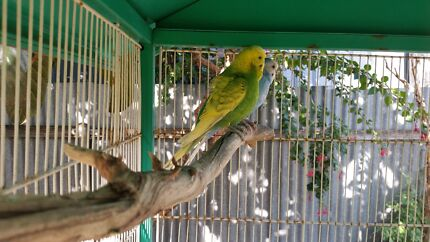 Young pair budgies  Modbury Tea Tree Gully Area Preview