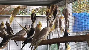 Baby Cockatiels from $25 Gawler Gawler Area Preview