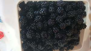 1kg of freshly picked blackberries for $10