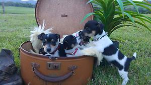 Mini Foxie Puppies Peachester Caloundra Area Preview