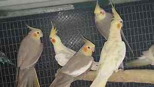 Adult avairy cockatiel Hampton Park Casey Area Preview