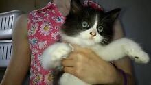Beautiful Ragdoll kitten for sale Earlwood Canterbury Area Preview