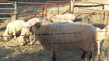 Black faced suffolk ram for sale Koolunga Port Pirie City Preview