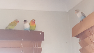 Love birds Helensvale Gold Coast North Preview