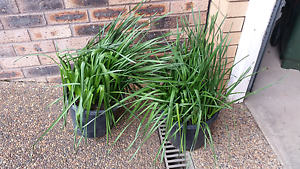 Pots of daffodils $20 each pot Kempsey Kempsey Area Preview