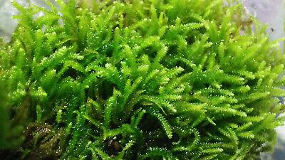 Musgo vivo verde natural plantas naturales para acuario paludario gambas ranas