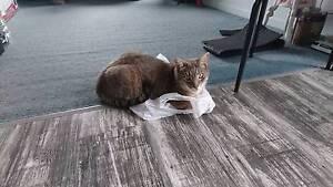 Lost tabby cat, Eden St Bega Bega Bega Valley Preview