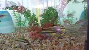 Kribensis Chiclids NEED GONE ASAP Murwillumbah Tweed Heads Area Preview