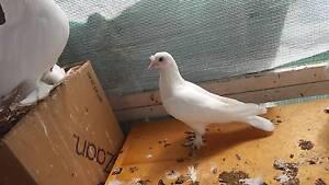 pigeon turkishtumbler Doveton Casey Area Preview