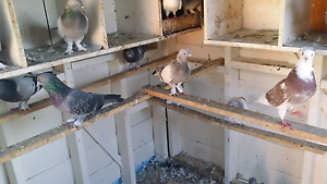Turkish pigeons for sale really good birds Roxburgh Park Hume Area Preview