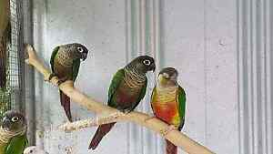 Green cheek conure adults Hampton Park Casey Area Preview