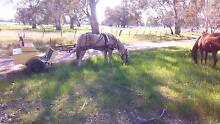HORSE SULKY-CART-JINKER Benalla Benalla Area Preview