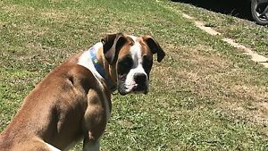 Female boxer puppy Tynong Cardinia Area Preview