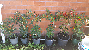 The hot chilli plants Liverpool Liverpool Area Preview