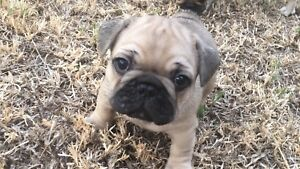 Beautiful French bulldogs to find their forever home