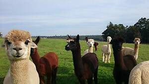 Alpaca Wethers for Sale Nannup Nannup Area Preview