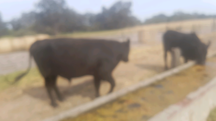 Angus  bull for sale