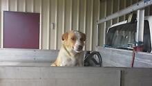 Border Collie X Lassie Collie (rough) pups for sale Woolooga Gympie Area Preview