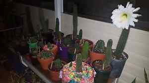 Bulk cactus 200+ cacti, succulents and plants Melville Melville Area Preview