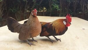 Wanted: Dutch bantams