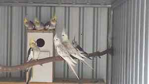 Cockatiels from $25 Gawler Gawler Area Preview