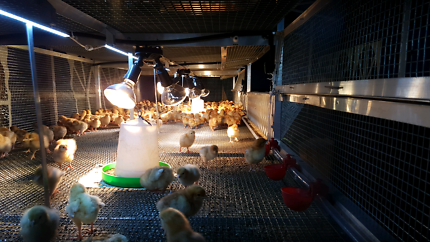 Custom chicken coops and Brooder cages