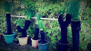 Black boys / Grass tree for sale Kalamunda Kalamunda Area Preview
