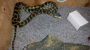 Darwin python 3y old male Wynnum Brisbane South East Preview