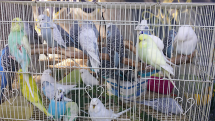 32 Budgies for sale