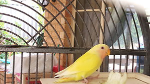 Lutino lovebirds Winthrop Melville Area Preview