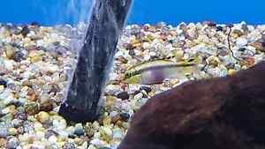 Kribensis Cichlid Pelvicachromis Pulcher -  Fish Tank Aquarium Brighton-le-sands Rockdale Area Preview