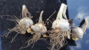 Elephant Garlic Seeds 10 cloves /From Giant Bulbs