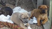 Pure Breed Staffy Pups for Sale Maroochydore Maroochydore Area Preview