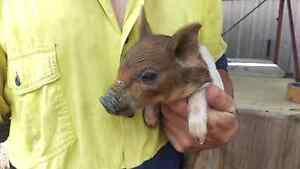 Miniature piglets pigs baby miniature piglets Londonderry Penrith Area Preview