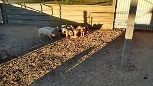 Piglets  Saddle Back crossed breed Childers Bundaberg Surrounds Preview