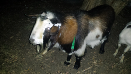 DIGGER the male goat