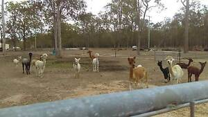 ALPACA - HERD REDUCTION - DUE TO MOVING Gatton Lockyer Valley Preview