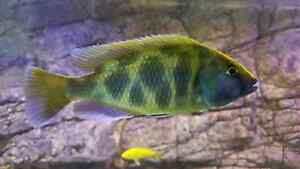 3x Venustus and 1x Red Empress cichlid Duffy Weston Creek Preview