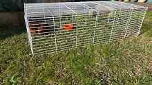 2 x male guinea pigs Kingsgrove Canterbury Area Preview