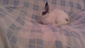 Rabbits for sale need gone asap South Yunderup Mandurah Area Preview